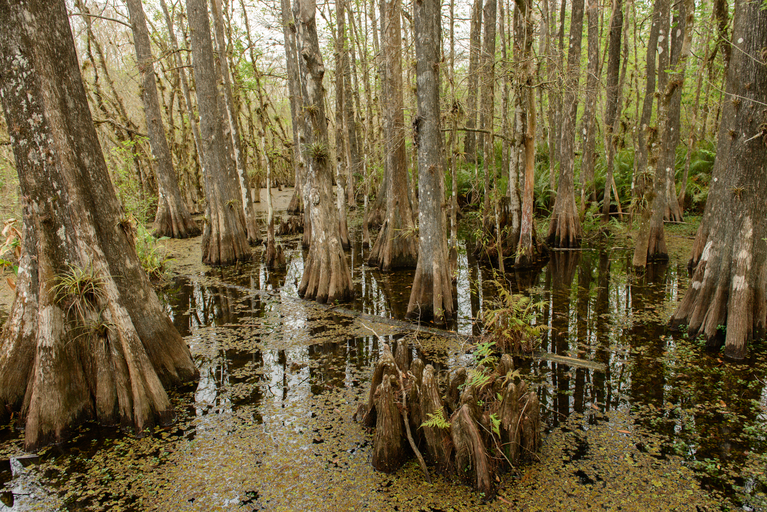 Six Mile Cypress Slough Preserve Rivetville