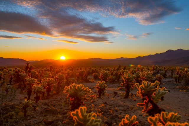 Sunrise at Cholla Cactus Garden in Joshua Tree National Park