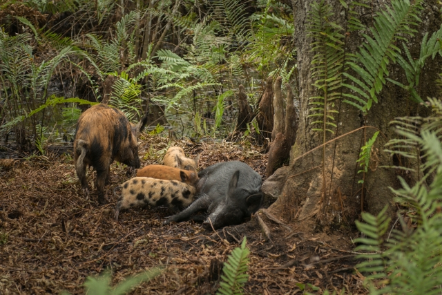 Yep, there are feral pigs living in the slough