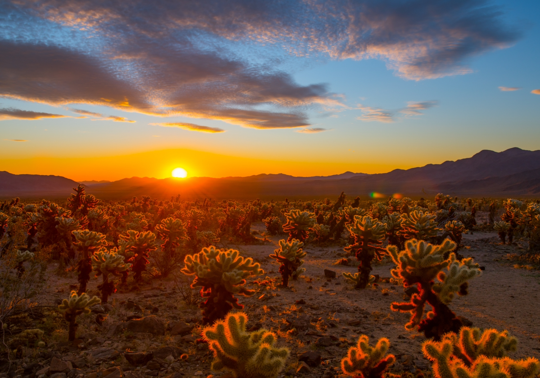 Sunrise at Cholla Cactus Garden in Joshua Tree National Park