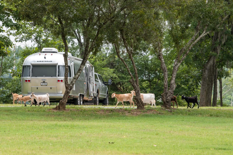 Goats stop by to say hello at Jackson Lake Island