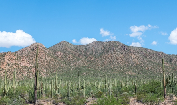 Cacti at Saguaro National Park in Arizona