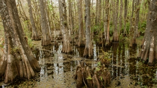 Cypress slough