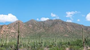Cacti at Saguaro National Park in Arizona